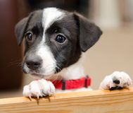 Jack russell puppy deep in thought. A Jack Russell puppy that is deep in thought looking for her doggy sister stock images