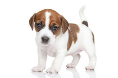 Jack Russell puppy Stock Photo