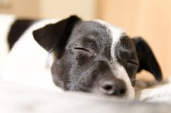 Jack Russell puppy asleep on the bed. Jack Russell Puppy fast asleep and dreaming on the bed Royalty Free Stock Photo