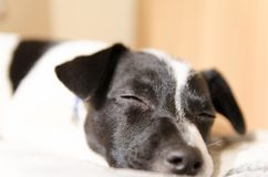 Jack Russell puppy asleep on the bed Royalty Free Stock Photos