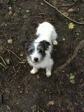 Jack Russell-puppy het spelen in het hout Royalty-vrije Stock Afbeelding