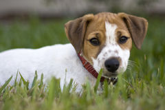 Jack Russell Puppy Laying in Grass Stock Photos
