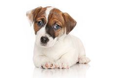 Jack Russell puppy lying down Stock Photography