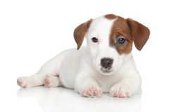 Jack Russell puppy lying Stock Image