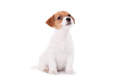 Jack Russell-puppy (1.5 maand oud) op wit Stock Fotografie