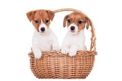 Jack Russell-puppy (1.5 maand oud) op wit Royalty-vrije Stock Fotografie