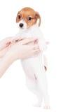 Jack Russell-puppy (1.5 maand oud) op wit Stock Afbeeldingen