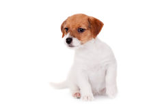 Jack Russell puppy (1,5 month old) on white Royalty Free Stock Images