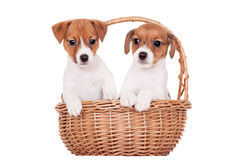Jack Russell puppy (1,5 month old) on white Royalty Free Stock Photography