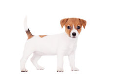 Jack Russell puppy (1,5 month old) on white Stock Image