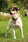 Jack Russell Puppy no jardim Imagem de Stock Royalty Free