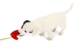Jack Russell puppy play with red Anthurium Stock Photo