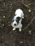 Jack Russell puppy playing in the woods Royalty Free Stock Image