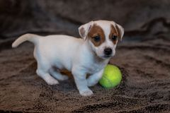 Jack Russell puppy plays with her toys. Jack Russell puppy plays with her toys royalty free stock image