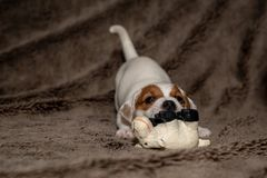 Jack Russell puppy plays with her toys. Jack Russell puppy plays with her toys stock image