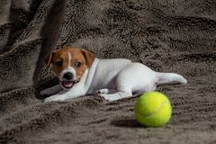 Jack Russell puppy plays with her toys. Jack Russell puppy plays with her toys stock photos