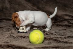 Jack Russell puppy plays with her toys. Jack Russell puppy plays with her toys royalty free stock photo