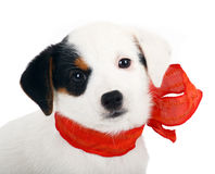 Jack Russell puppy. With red cockade on white background Stock Photo