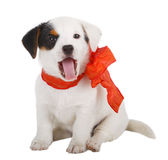 Jack Russell puppy. With red cockade on white background Royalty Free Stock Photos