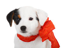 Jack Russell puppy. With red cockade on white background Stock Photography