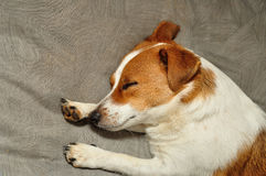 A Jack Russell puppy Stock Photography