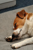A Jack Russell puppy Royalty Free Stock Images