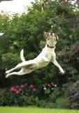 Jack Russell Puppy som mycket högt hoppar i trädgården Royaltyfri Bild