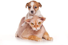 Jack Russell puppy and sphinx cat Royalty Free Stock Images