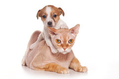 Jack Russell puppy and sphinx cat Stock Photos