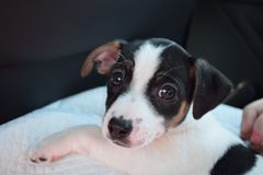 Jack Russell puppy Royalty Free Stock Image