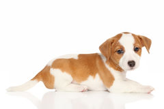 Jack Russell puppy Royalty Free Stock Photography