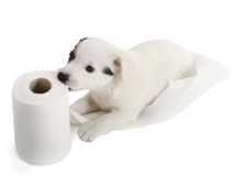 Jack Russell puppy with toilet paper Royalty Free Stock Image