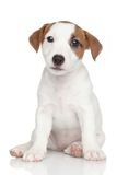 Jack Russell puppy on white Royalty Free Stock Image