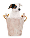 Jack Russell puppy in wooden bucket Royalty Free Stock Photo
