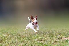 Jack Russell que salta en un parque Imagen de archivo libre de regalías