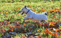 Jack Russell race Royalty Free Stock Photo