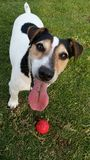 Jack Russell with a Red ball royalty free stock photography