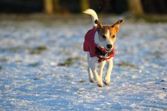 Jack Russell in red winter coat running in snow Stock Images