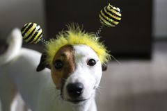 Jack Russell. In the rim in the form of bees royalty free stock photos