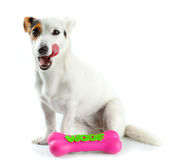 Jack Russell with a rubber bone Stock Images