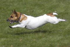 Jack Russell running Royalty Free Stock Photography