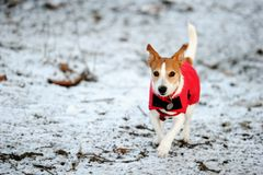 Jack Russell running in red winter coat Royalty Free Stock Photos