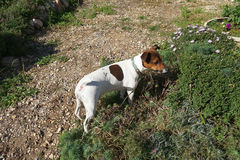 Jack  russell Stock Photos