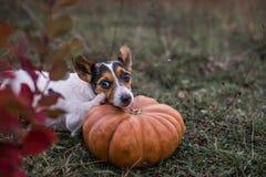Dog pumpkin royalty free stock photos