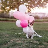 Dog and balloons stock images