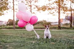 Dog and balloons royalty free stock photography