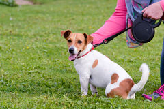 Jack Russell sitting and being stroked Stock Image