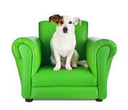 Jack russell sitting on a green armchair Stock Photos