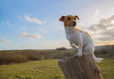 Jack Russell Sitting On Log Stockbild