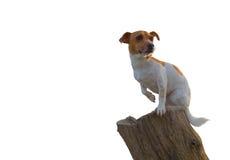 Jack Russell Sitting On Log White-Hintergrund Lizenzfreies Stockfoto